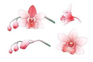 Stel phalaenopsis orchidee, roze, rode bloemen op een witte achtergrond, digitale tekenen tropische plant