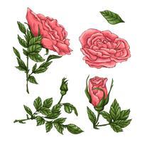 Set van koraalrozen. Hand tekening vectorillustratie