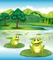 Twee kikkers boven de waterlelies