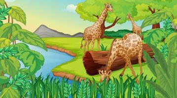 Drie giraffen aan de rivier