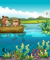 Twee bevers die in het meer spelen