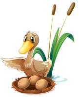 Een eend die op de eieren bij het nest dichtbij de vijver let