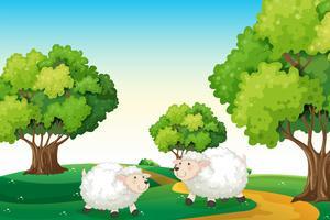 Twee witte schapen op de heuveltop