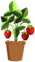 Aardbeienplant in kleipot