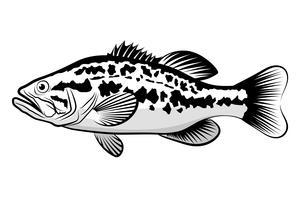 Bass vis lijntekening stijl op witte achtergrond. Ontwerpelement voor pictogramembleem, etiket, embleem, teken, en merkteken. Vectorillustratie.