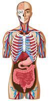 Menselijke anatomie met verschillende systemen