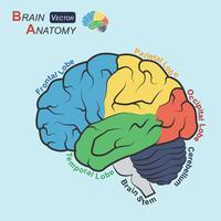 Hersenenanatomie (plat ontwerp) (frontale kwab, temporale kwab, pariëtale kwab, occipitale kwab, cerebellum, hersenstam) vector