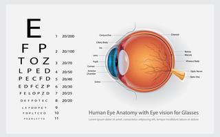 Menselijk ooganatomie met oogvisie voor glazen vectorillustratie