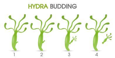 Wetenschap van Hydra Budding. vector