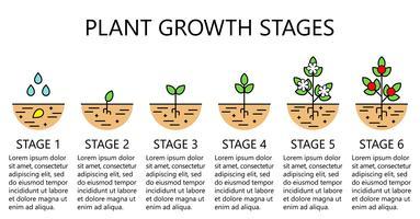 Plantengroeifasen infographics. Lijn kunst pictogrammen. Aanplant instructiesjabloon. Lineaire stijlillustratie die op wit wordt geïsoleerd. Groenten planten, groenten verwerken. Platte ontwerpstijl.