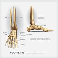 Menselijke anatomie voet bot vectorillustratie