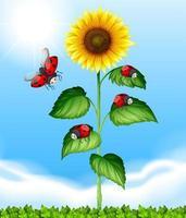 Lieveheersbeestjes die rond zonnebloem vliegen