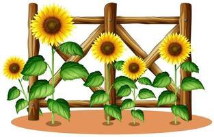 Zonnebloemen voor houten hek vector