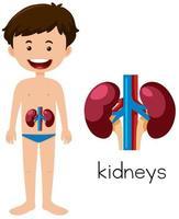 Een menselijke anatomie van nieren vector