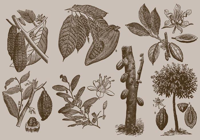 Kakao bönor vektor