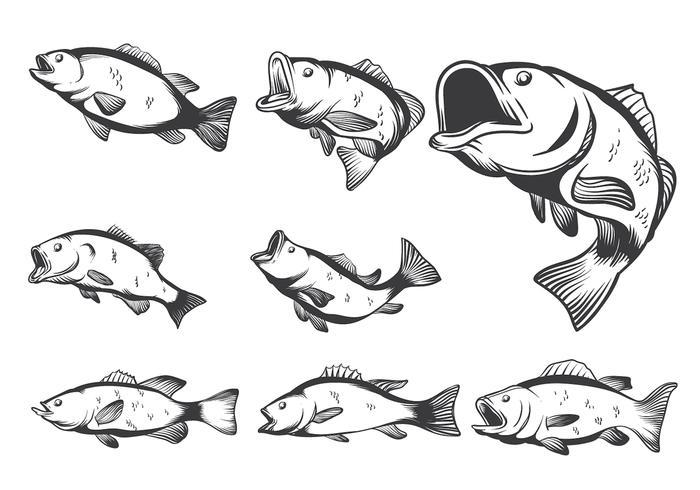 Bassfisch-Vektoren vektor