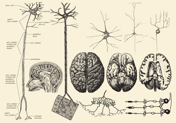 Gehirn und Neuron Zeichnungen vektor