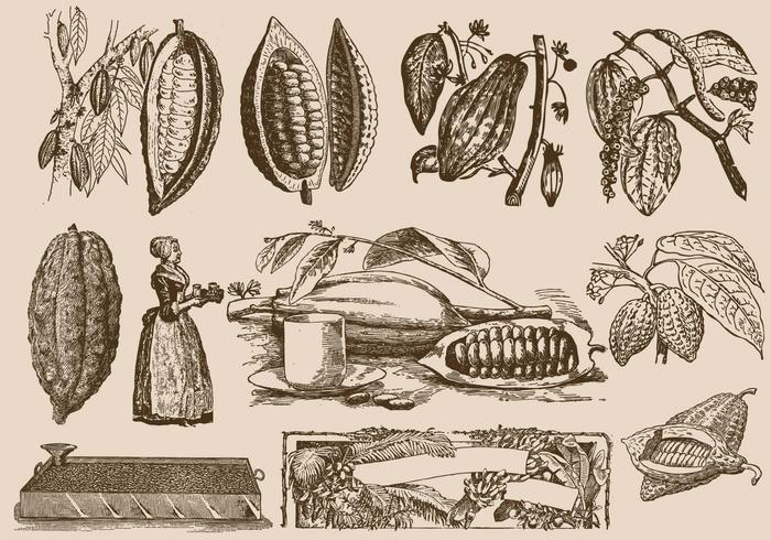Kakaobönor och process vektor