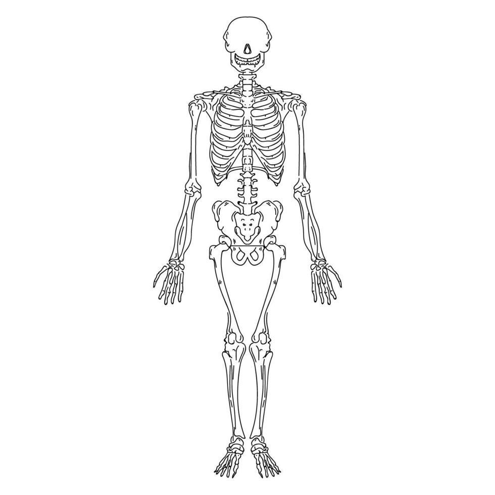 handritad mänskligt skelett vektor
