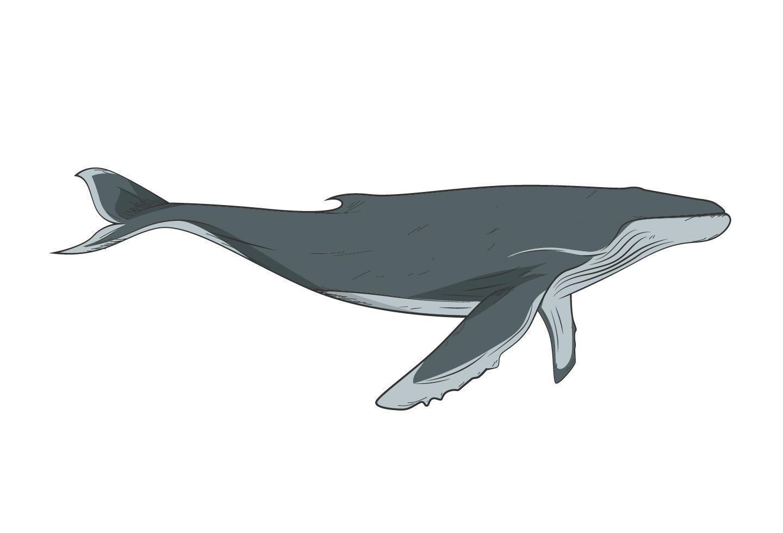 Buckelwal isoliert auf weiß vektor