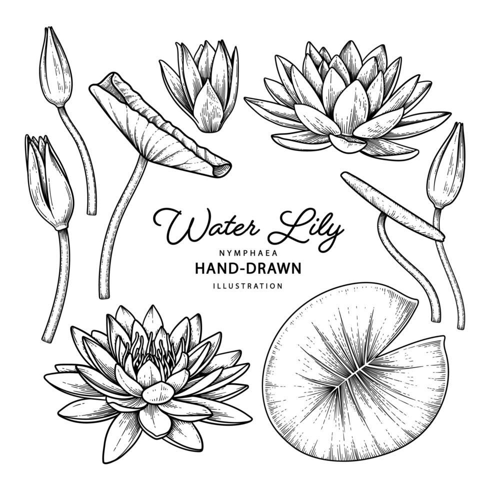 Seerose Blumenzeichnungen vektor