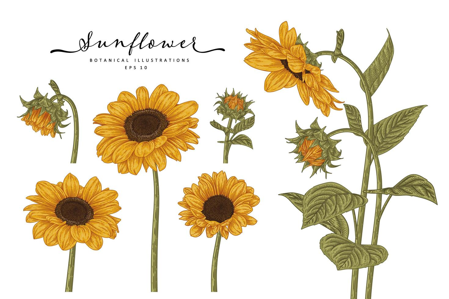 Handgezeichnete botanische Sonnenblumenmenge vektor