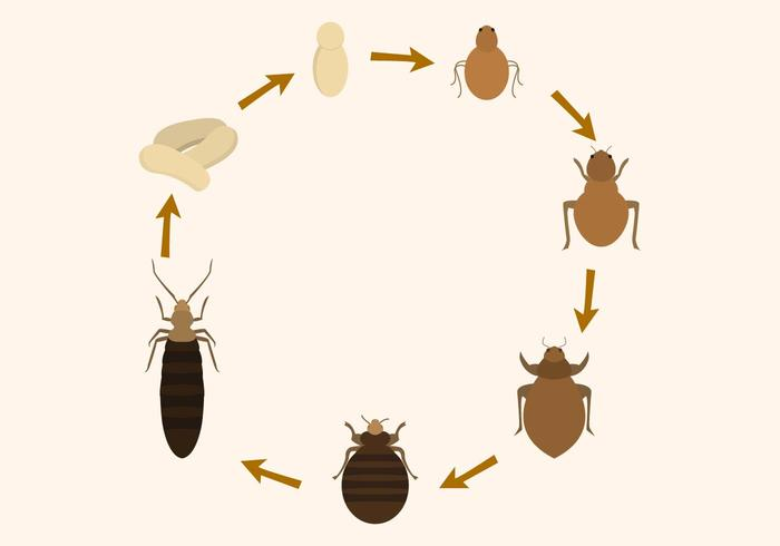 Free Bed Bug Lebenszyklus Vektor
