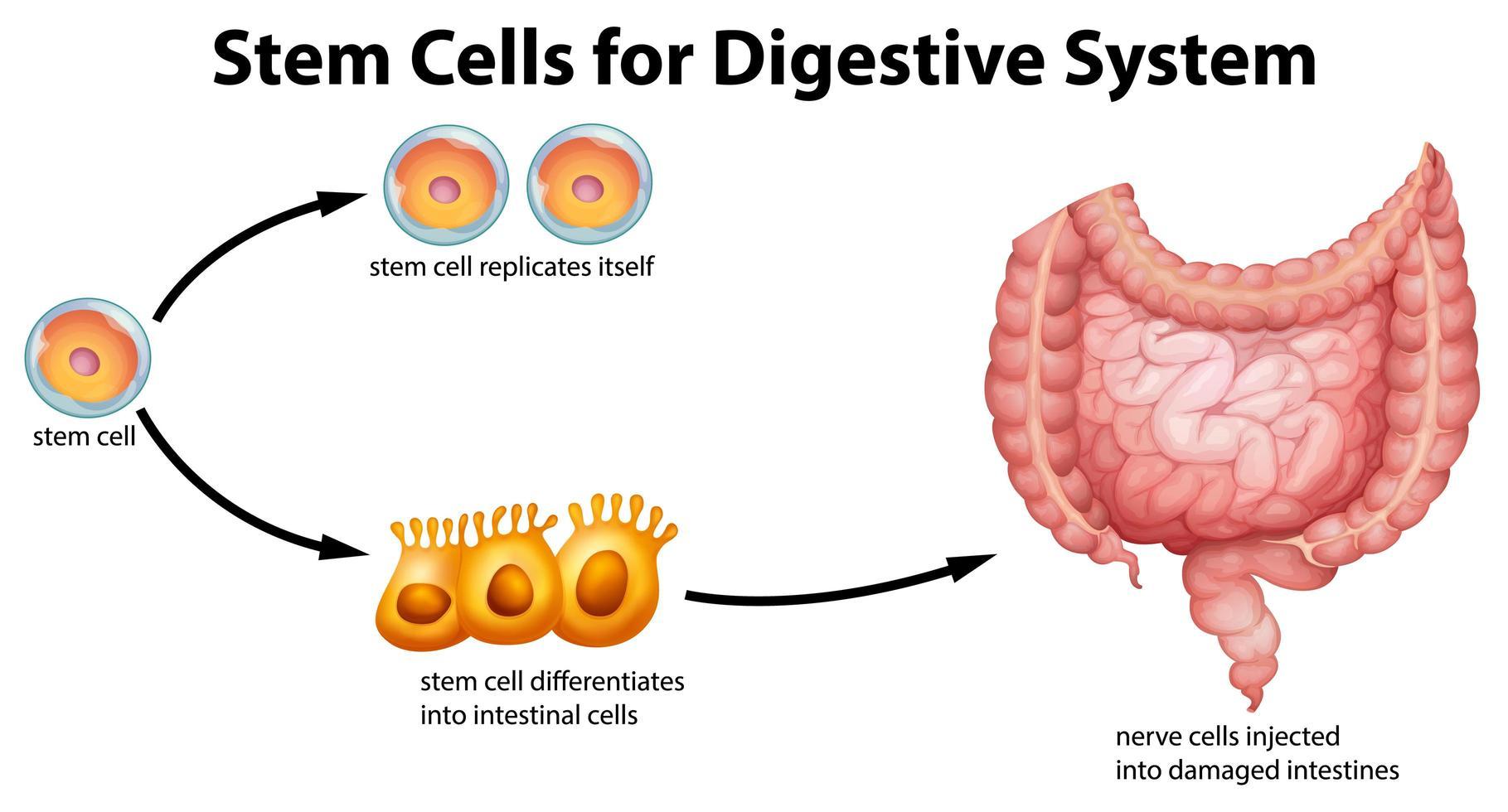 Stammzellen für das Bildungssystem des Verdauungssystems vektor