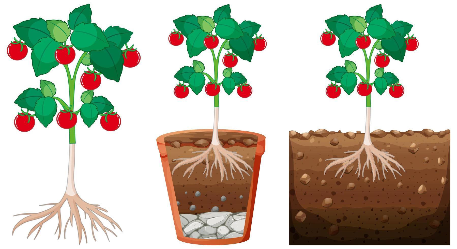Tomatenpflanzenset vektor