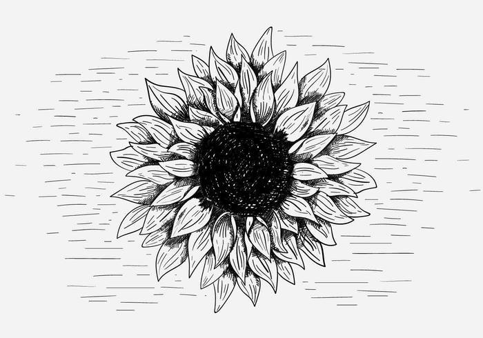 Gratis vektor solros illustration