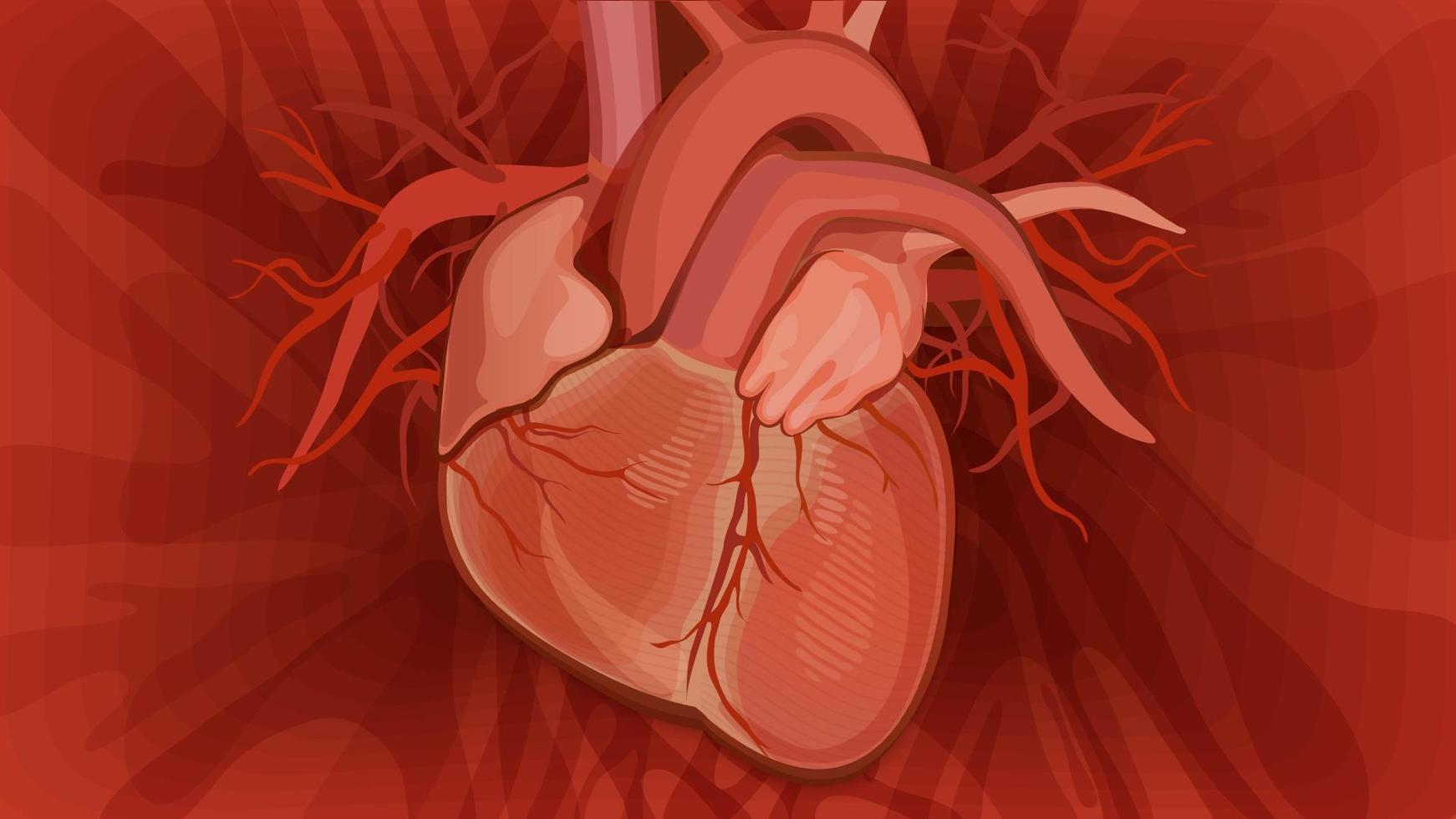 anatomiskt hjärta på röd bakgrund. vektor