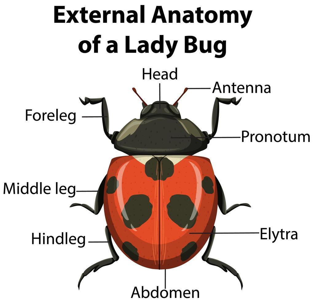 extern anatomi av lady bug på vit bakgrund vektor