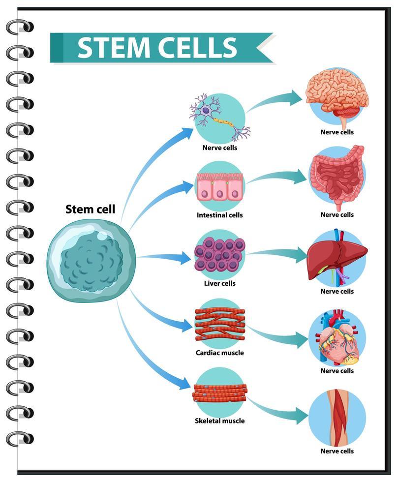 Illustration der Anwendungen menschlicher Stammzellen vektor
