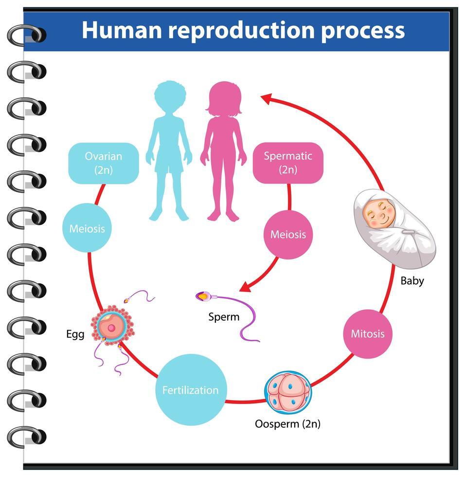 mänsklig reproduktionsprocess infografisk vektor
