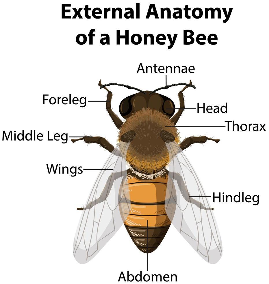 äußere Anatomie einer Honigbiene vektor