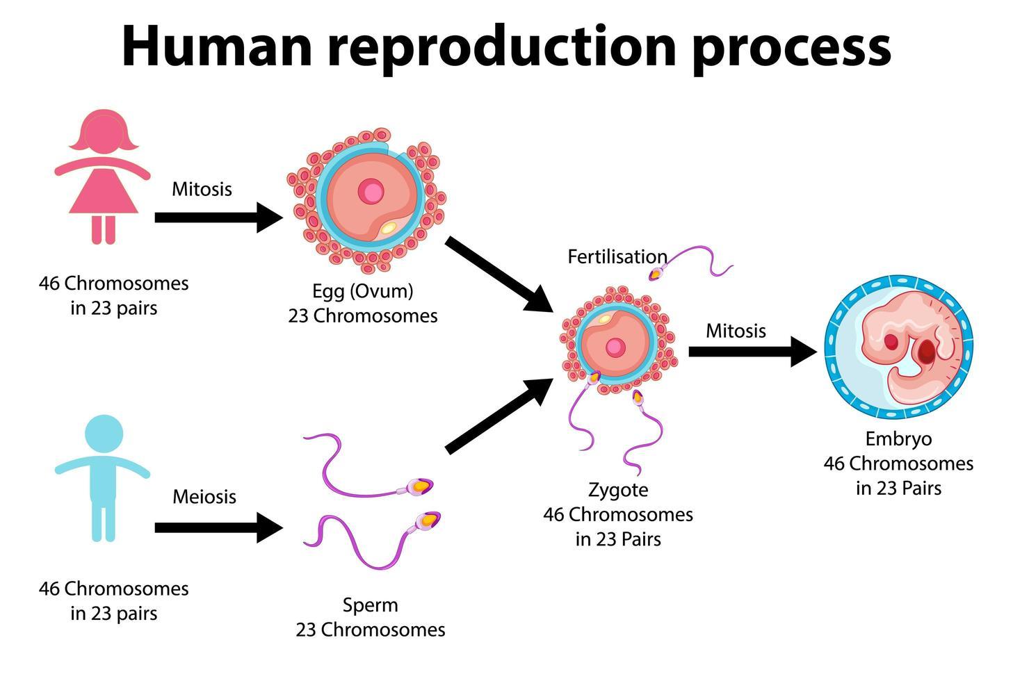 Reproduktionsprozess der menschlichen Infografik vektor