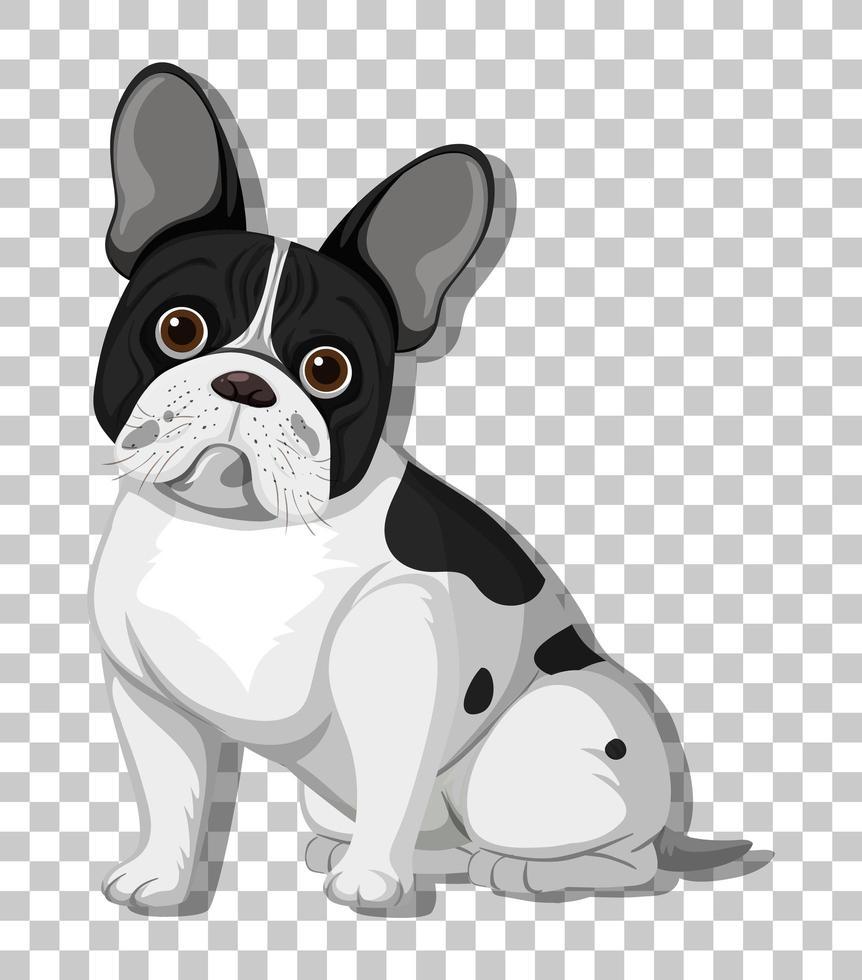 fransk bulldog i sittande position seriefigur isolerad på transparent bakgrund vektor