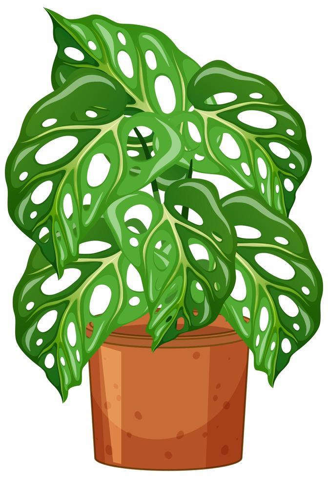 monstera växt i kruka tecknad stil på vit bakgrund vektor