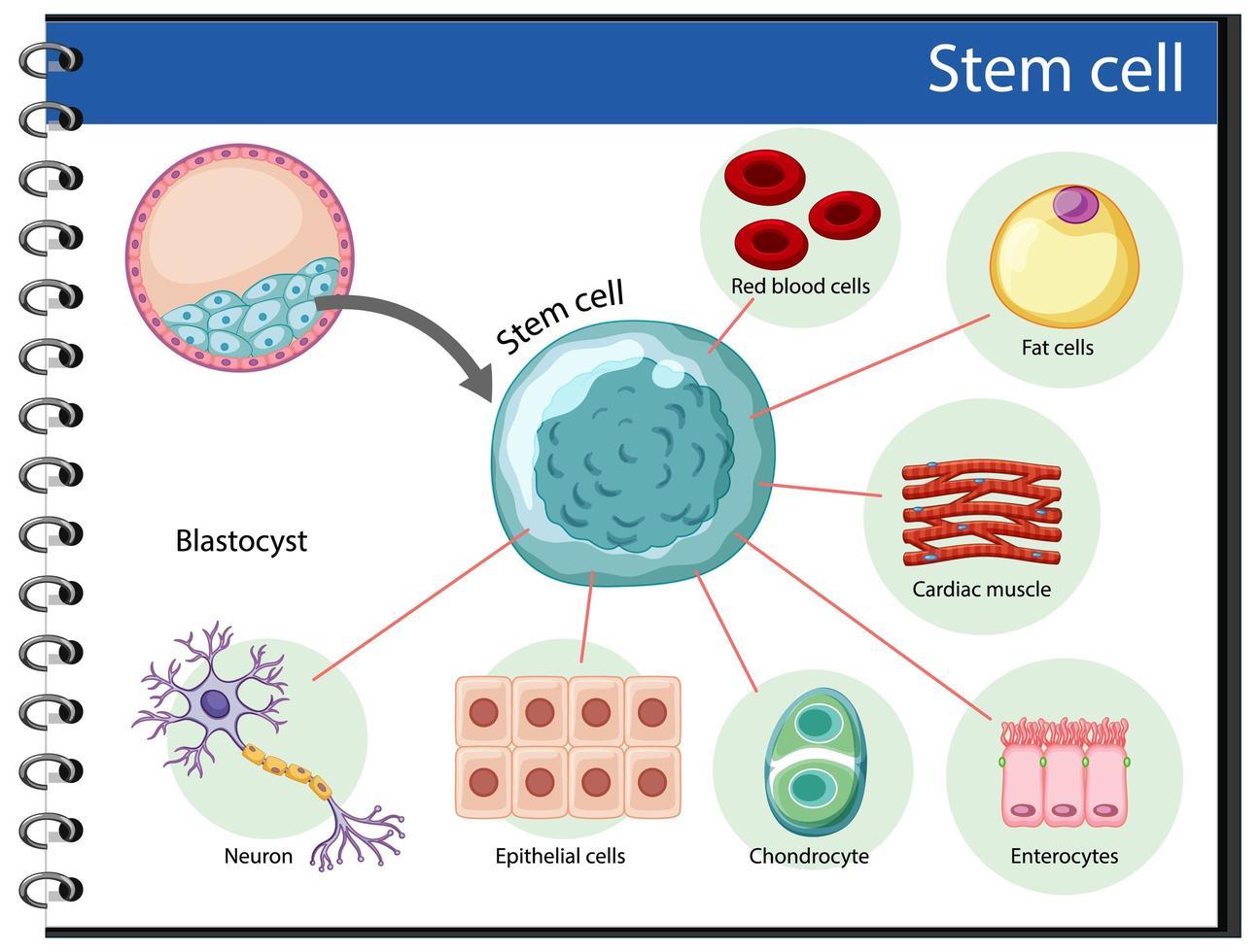 informationsaffisch om mänskliga stamceller vektor