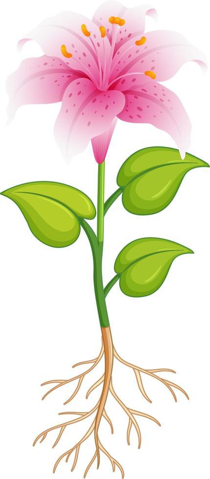 rosa Lilienblume mit grünen Blättern und Wurzeln auf weißem Hintergrund vektor