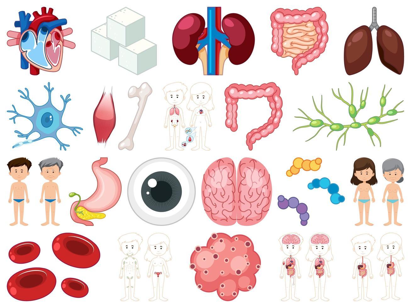 uppsättning mänskliga inre organ isolerad på vit bakgrund vektor