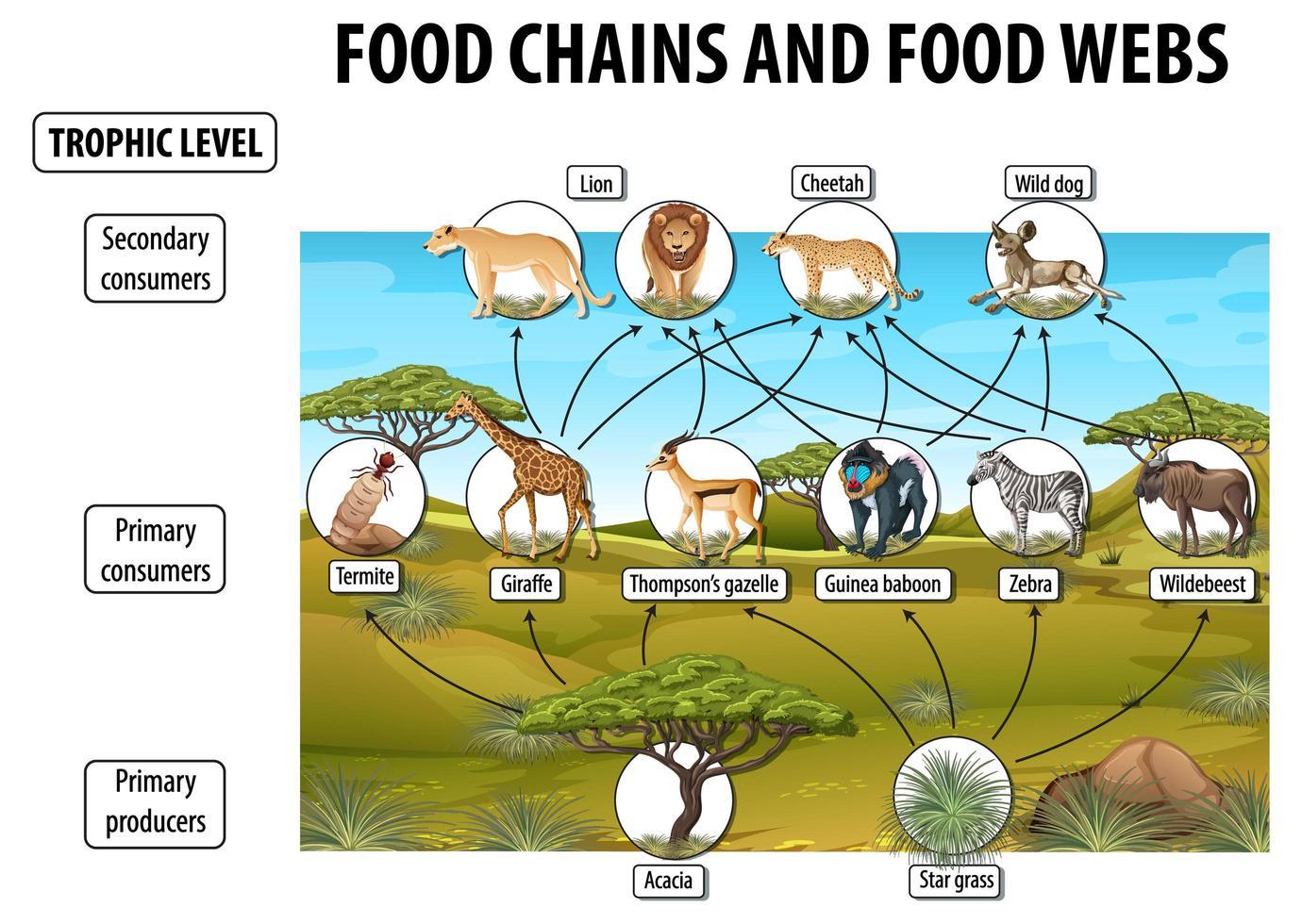 utbildningsaffisch för biologi för matväv och matkedjediagram vektor