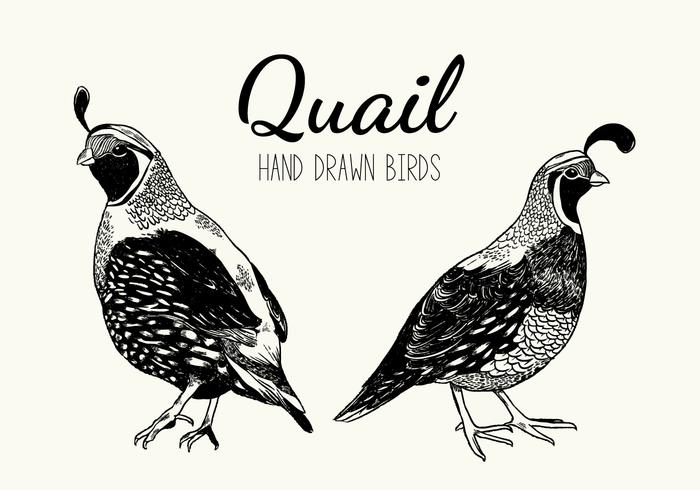 Wachtel Vogel Vektor Handdrawn Illustration