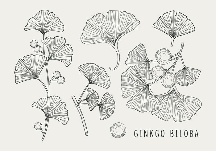 Ginkgo biloba Handdrawn Illustration vektor