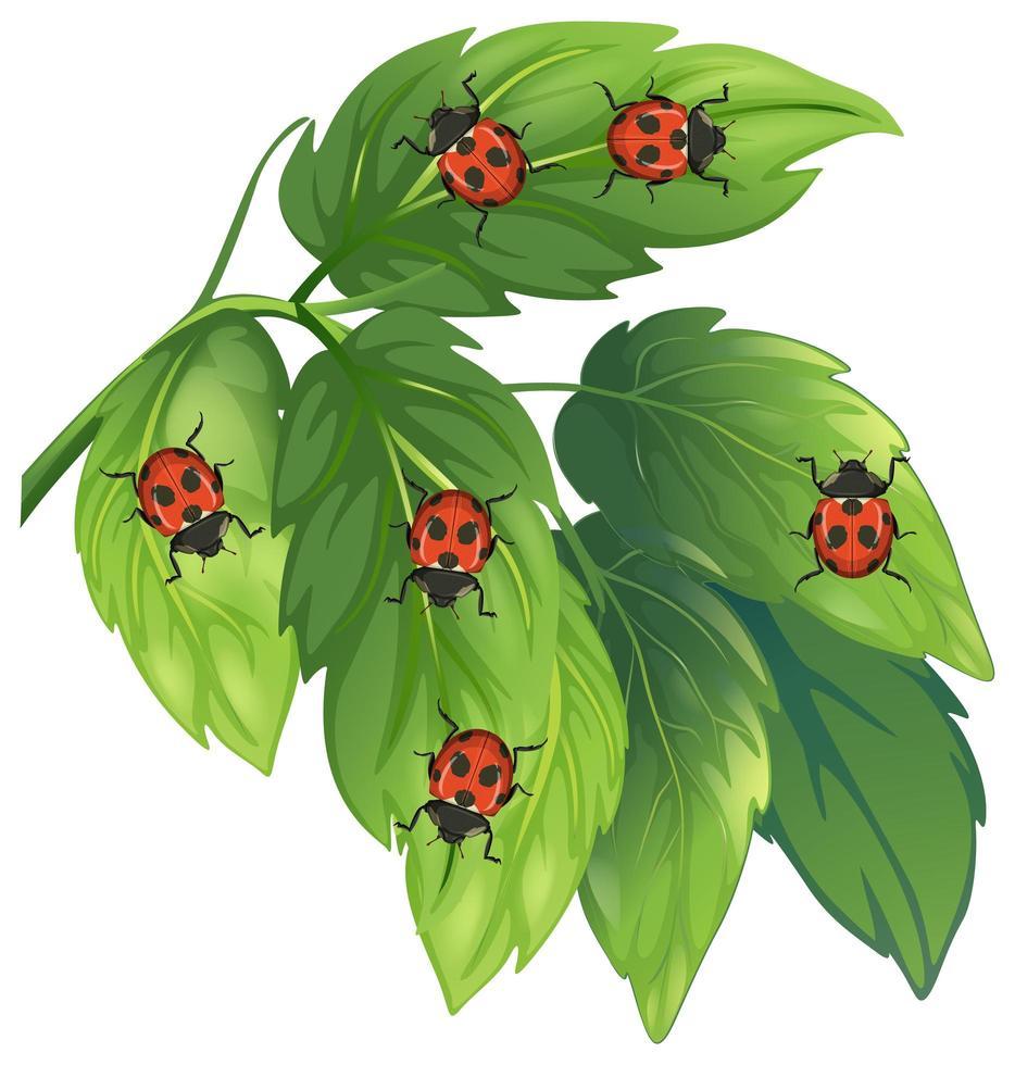 Marienkäfer auf Blättern lokalisiert auf weißem Hintergrund vektor