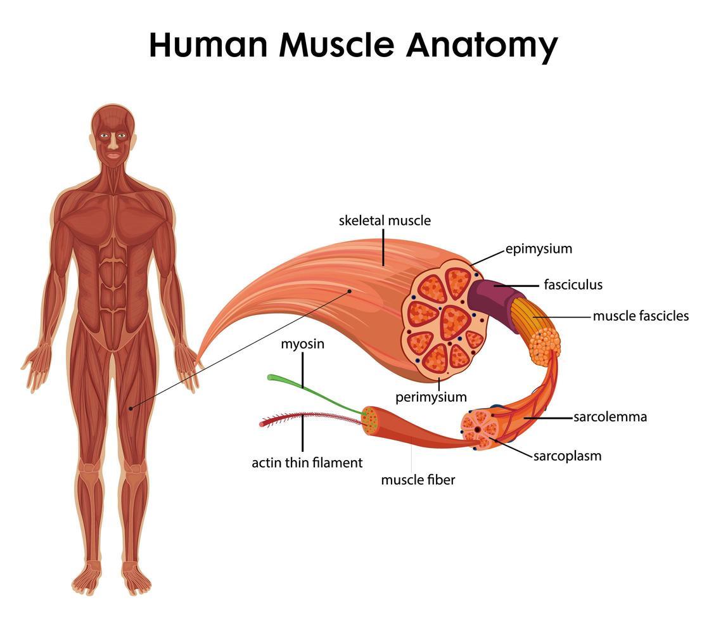 mänsklig muskel anatomi för hälsoundervisning infographic vektor