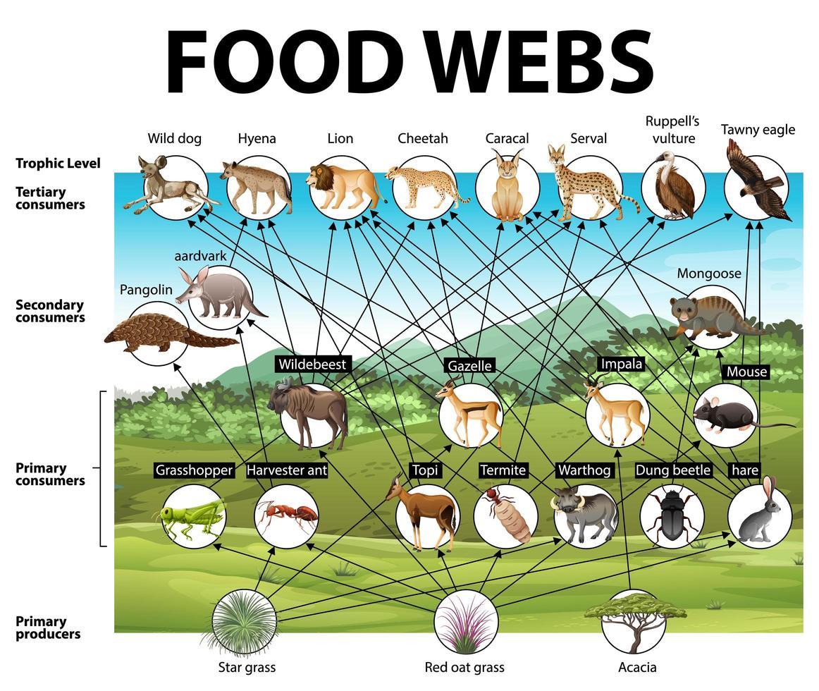 Bildungsplakat der Biologie für Nahrungsnetze Diagramm vektor
