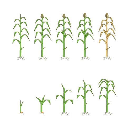 Kostenlose Mais Pflanzen Vektor