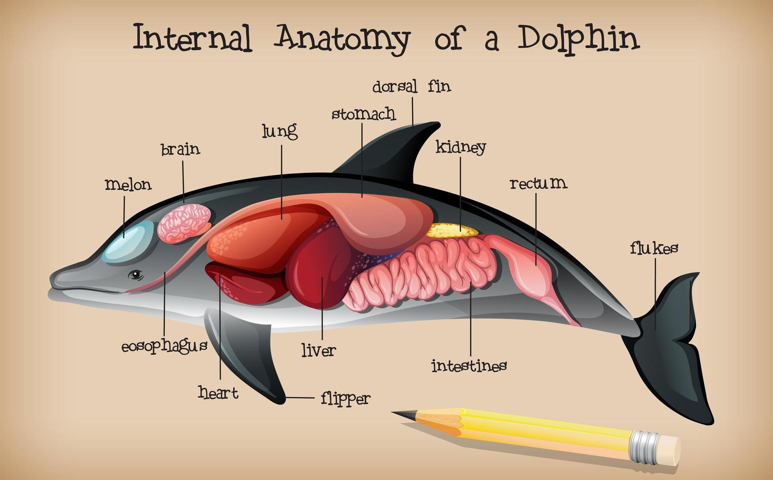 inre anatomi hos en delfin vektor