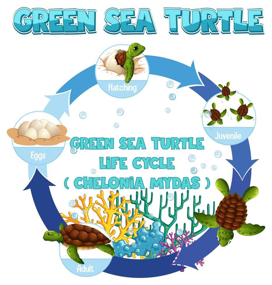 diagram som visar sköldpaddans livscykel vektor